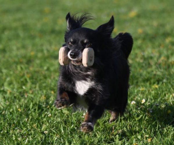 Carlo beim Hundesport Obedience