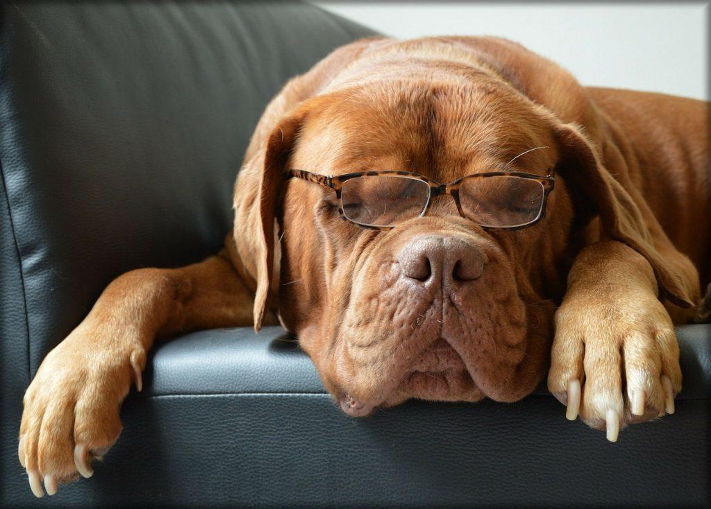 Hund Brille